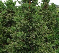 Black Dragon Cryptomeria - Japanese Cedar