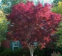 Shop Emperor One Japanese Maple - 3 Gallon