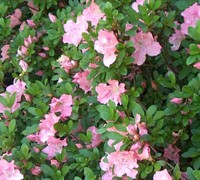 Shop Watchet Azalea - 3 Gallon