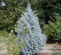 Blue Ice Cypress - Cupressus glabra 'Blue Ice'