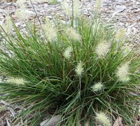 Shop Little Bunny Dwarf Fountain Grass - 1 Gallon