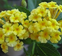 Shop Chapel Hill Yellow Hardy Lantana - 1 Gallon