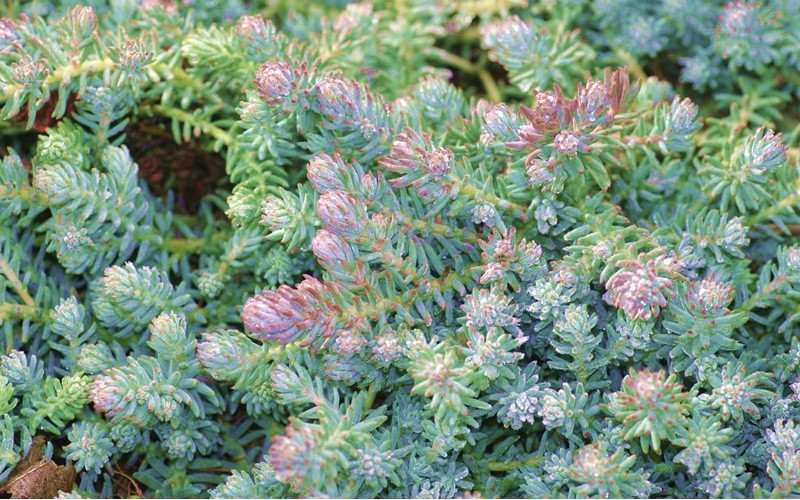 Blue Spruce Stonecrop Photo 1