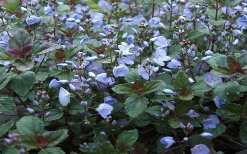 Veronica 'Waterperry Blue' - Waterperry Blue Speedwell - 10 Count Flat - 4.5