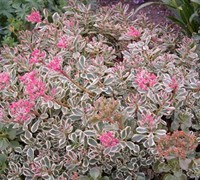 Shop Sedum spurium 'Tricolor' - Tricolor Stonecrop - 3 Count Flat of Pint Pots