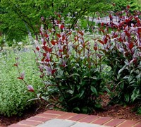 Huskers Red Penstemon