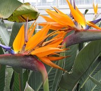 Orange Bird of Paradise - Strelitzia reginae