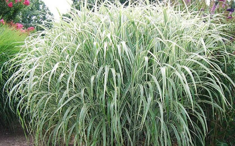 Cosmopolitan Miscanthus - 3 Gallon Pot - Ornamental Grasses | ToGoGarden