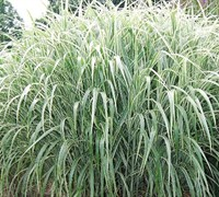 Shop Cosmopolitan Miscanthus - 3 Gallon Pot