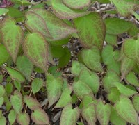 Epimedium rubrum - Red Barrenwort