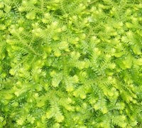 Shop Selaginella kraussiana 'Aurea' - Gold Clubmoss - 10 Count Flat - 4.5