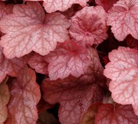 Shop Heuchera Georgia Peach - 1 Gallon