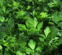 Italian Parsley - Petroselinum