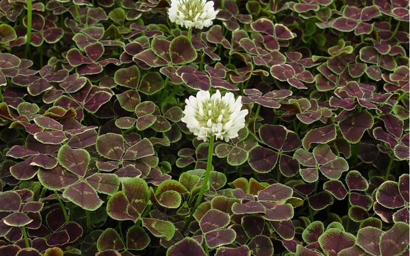 Bronze Dutch Clover - 10 Count Flat of 4.5