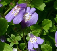 Purple Mazus