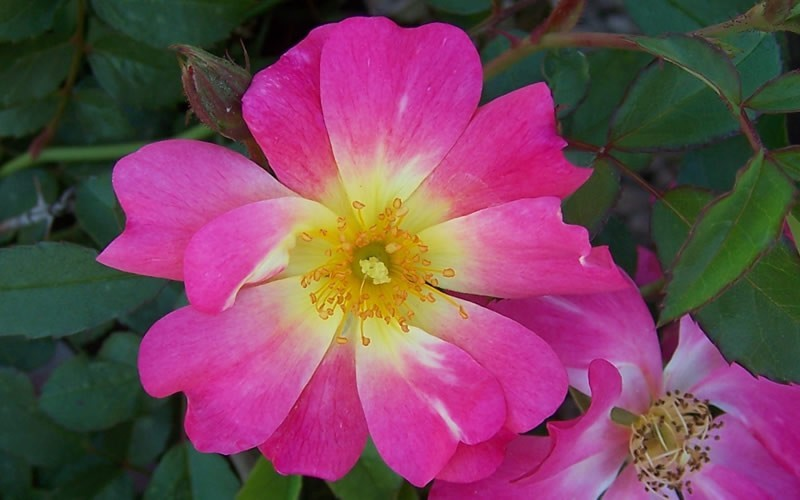 Pink Drift Rose Photo 1