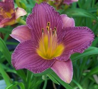 Hemerocallis Purple De Oro Daylily