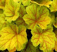 Shop Electra Heuchera - 1 Gallon