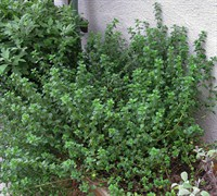 English Thyme - Thymus