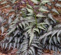 Shop Japanese Painted Fern - 1 Gallon