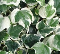 Shop Variegated Algerian Ivy - 10 Count Flat of 4