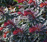 Ruby Glow Wood Spurge
