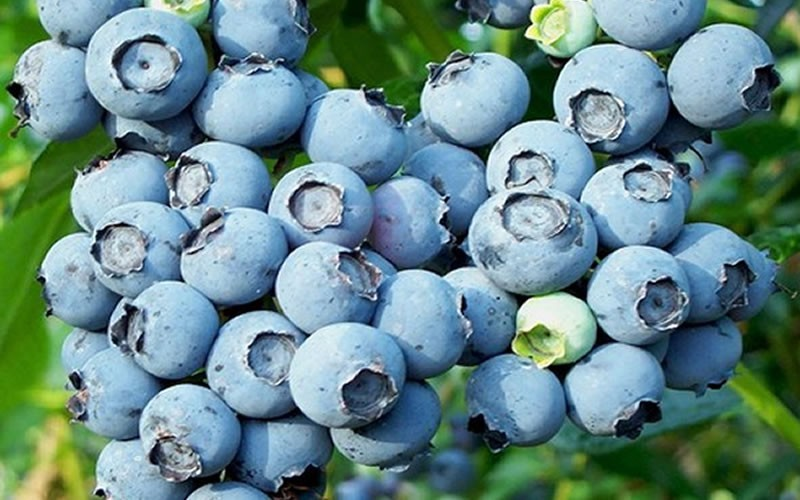 Powderblue Rabbiteye Blueberry - Vaccinum ashei 'Powderblue' - 1 Gallon - Blueberry Bushes - Rabbiteye | ToGoGarden