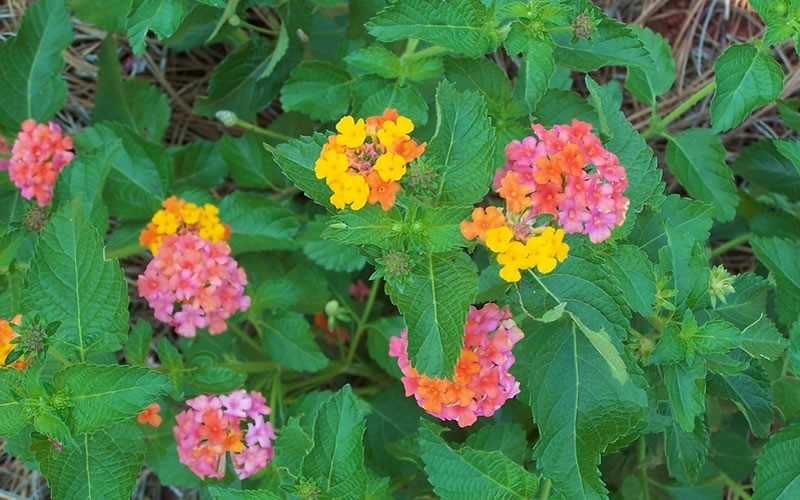 Sonset Hardy Lantana Photo 3