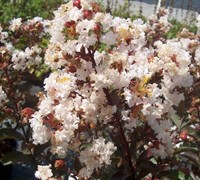 Burgundy Cotton Crape Myrtle