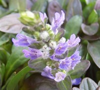 Ajuga reptans 'Chocolate Chip' - Chocolate Chip Bugleweed
