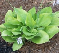 Shop Sum And Substance Hosta Lily - 1 Gallon
