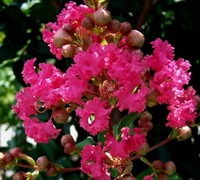 Shop Tuscarora Crape Myrtle - 3 Gallon