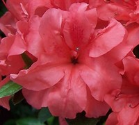 Autumn Princess™ Encore® Azalea
