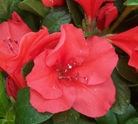 Autumn Sunset™ Encore® Azalea