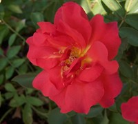 Cinco De Mayo Rose