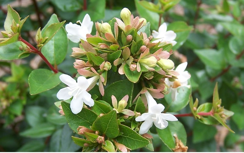 Rose Creek Dwarf Abelia - Abelia grandiflora 'Rose Creek'
