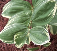 Shop Variegated Solomon Seal - 1 Gallon