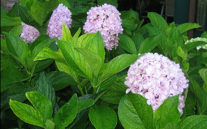 Big Daddy Hydrangea - 2 Gallon - Perennial Plants | ToGoGarden
