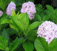 Shop Big Daddy Hydrangea - 2 Gallon
