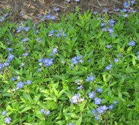Georgia Blue Speedwell