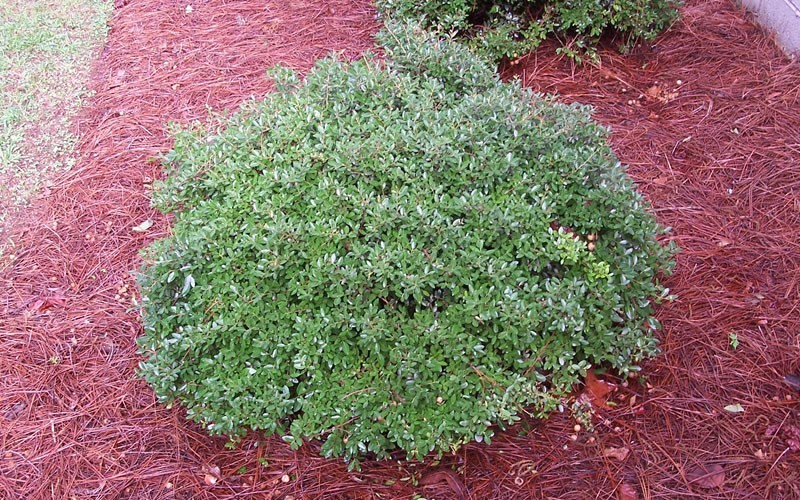 Schillings Dwarf Yaupon Holly - Ilex vomitoria 'Schillings' - 6