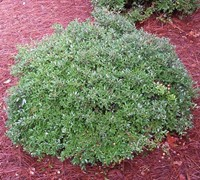 Schillings Dwarf Yaupon Holly - Ilex vomitoria 'Schillings'