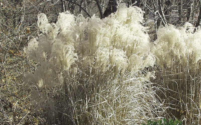 Maiden Grass - Miscanthus sinensis 'Gracillimus' Photo 5