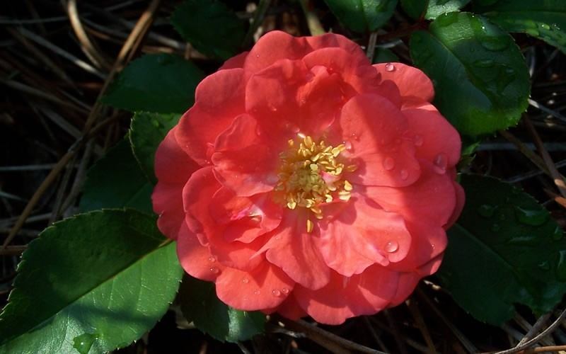 Coral Drift Rose Photo 3