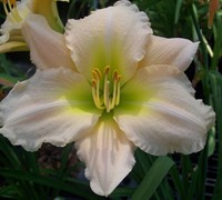 Hemerocallis 'Joan Senior' - Daylily