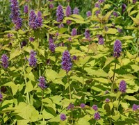 Shop Golden Jubilee Agastache - 1 Gallon