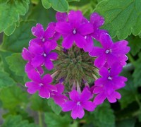 Shop Homestead Purple Hardy Verbena - 1 Gallon