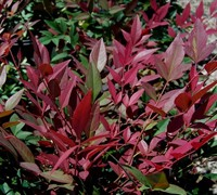Shop Obsession Nandina - 2 Gallon