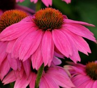 Pow Wow Wildberry Coneflower