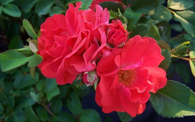Coral Drift Rose Photo 2